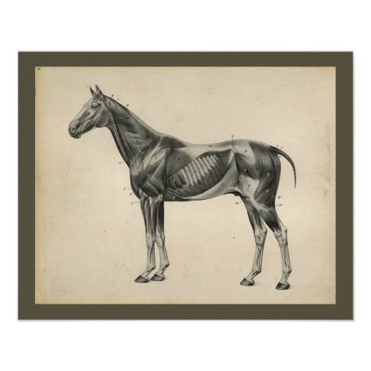 Vintage Horse Veterinary Muscle Anatomy Print | Zazzle.com