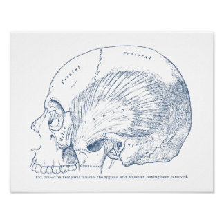 Vintage Human Anatomy Drawing Temporal Muscle Blue Poster