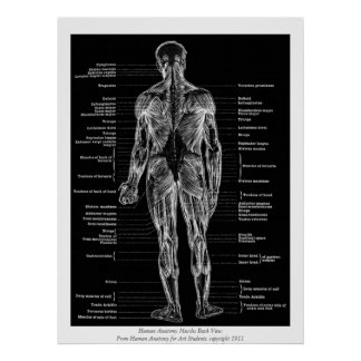 Vintage - Human Anatomy Muscles Back View Black Poster
