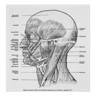 Vintage - Human Anatomy Muscles (Face, Head, Neck) Poster