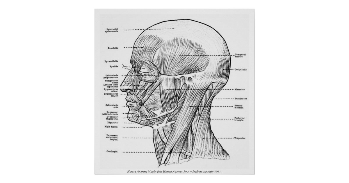 Vintage Human Anatomy Muscles Face Head Neck Poster Zazzle