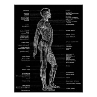 Vintage - Human Anatomy Muscles Lateral View Black Poster