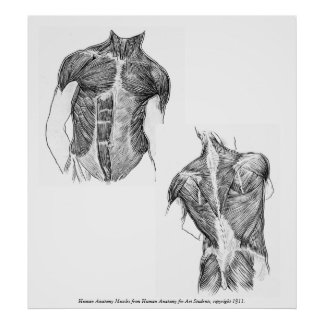 Vintage - Human Anatomy Muscles Poster