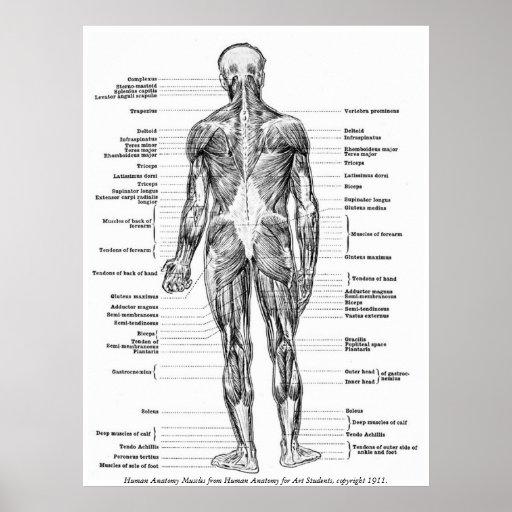 Vintage - Human Anatomy Muscles Print