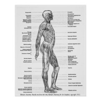 Vintage - Human Anatomy Muscles Posters