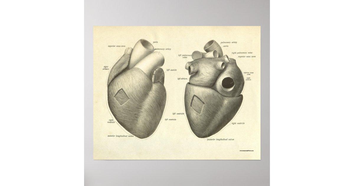 Vintage Human Anatomy Print Heart Zazzle