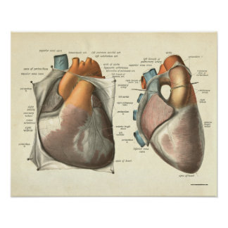 Vintage Human Anatomy Print Heart Muscles