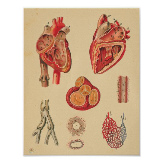 Vintage Human Heart Arteries Anatomy Medical Chart Zazzle