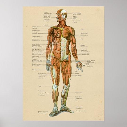 Vintage Human Muscle Anatomy Chart Anterior   Zazzle.com