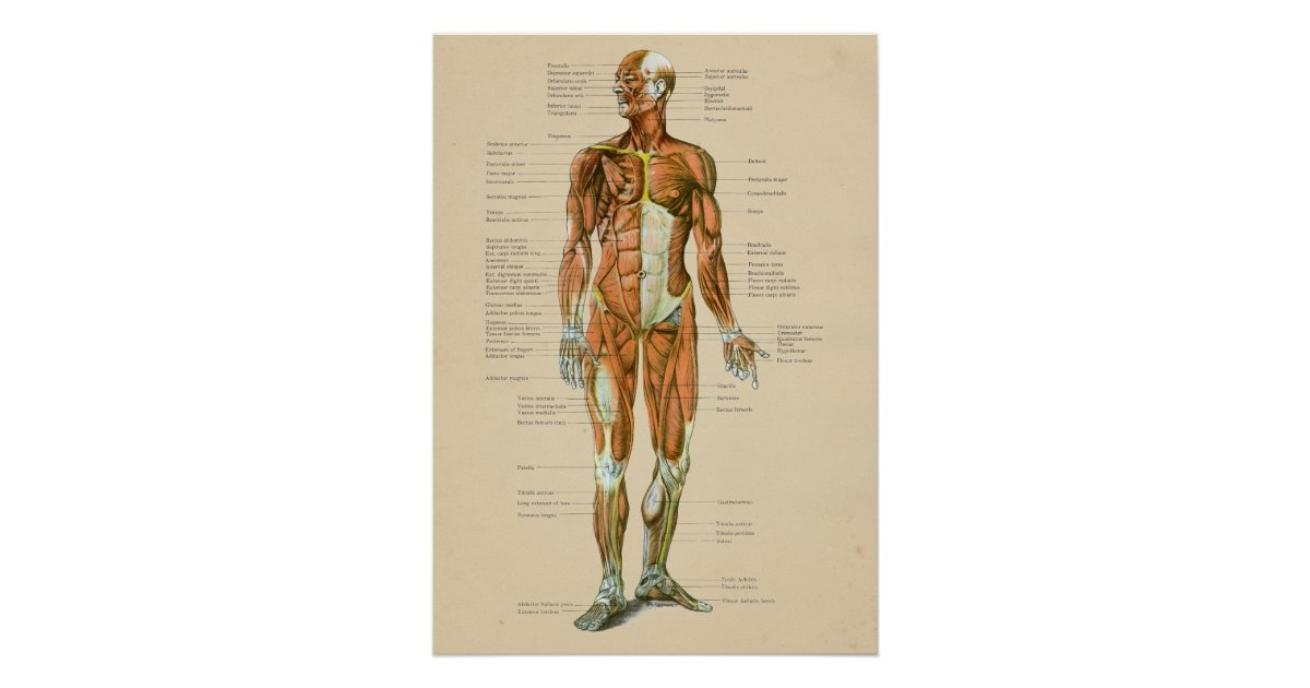 Vintage Human Muscle Anatomy Chart Anterior Zazzle