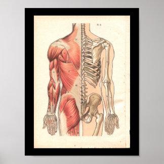Vintage Human Muscle and Skeletal Anatomy Print