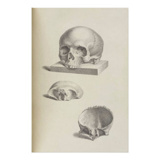 Vintage Human Skull 24x36 Poster