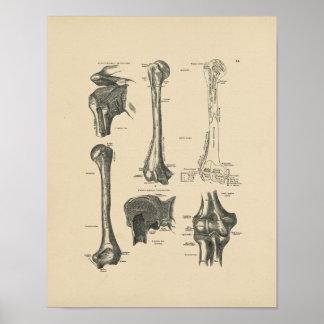 Vintage Humerus Anatomy 1880 Print