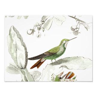 Vintage Hummingbird Illustration - 1800's Birds Photo Print