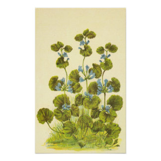 Vintage Illustration of A Creeping Charlie Plant Poster