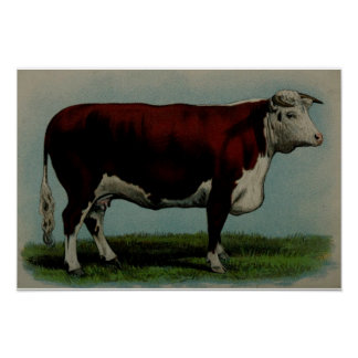 Vintage illustration of a Hereford cow Poster