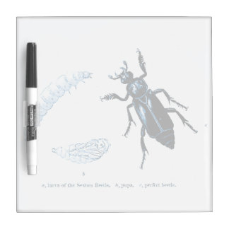 Vintage Insect | Sexton Beetle | Blue Dry Erase Board