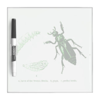 Vintage Insect | Sexton Beetle | Green Dry Erase Board