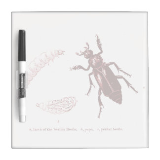Vintage Insect | Sexton Beetle | Red Dry Erase Board