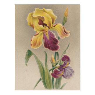 Vintage Iris Flower Post Card