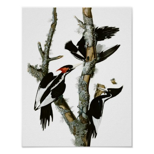 Vintage Ivory-billed Woodpecker Poster Print