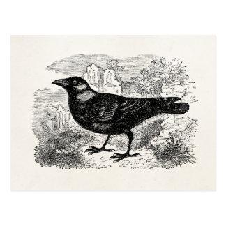Vintage Jackdaw Crow Bird Personalized Birds Crows Postcard
