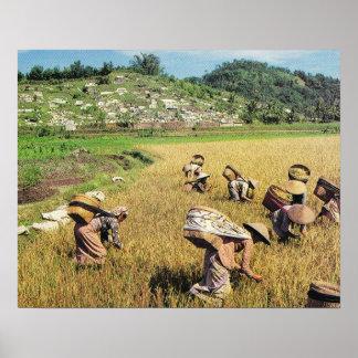 Vintage Java, Harvesting rice, Central Java Poster