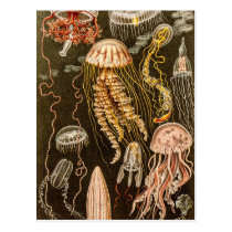 Vintage Jellyfish Antique Jelly Fish Illustration Postcard