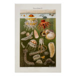Vintage Jellyfish Illustration Antique Jelly Fish Poster