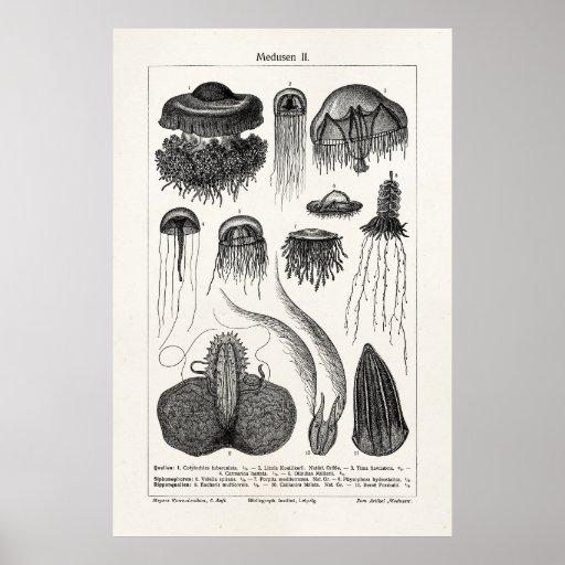 Vintage Jellyfish Species Retro Sea Jelly Fish Print