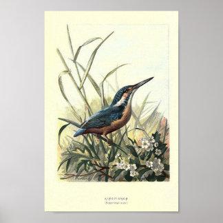 Vintage Kingfisher Image Poster