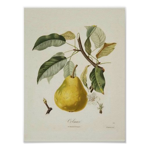 Vintage Wall Art For The Kitchen : Vintage pear poster zazzle