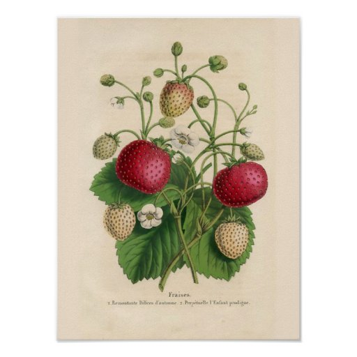 Vintage Wall Art For The Kitchen : Vintage strawberries poster zazzle