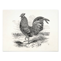 Vintage Kulm Fowl Rooster Chicken - Chickens Hen Photo Print
