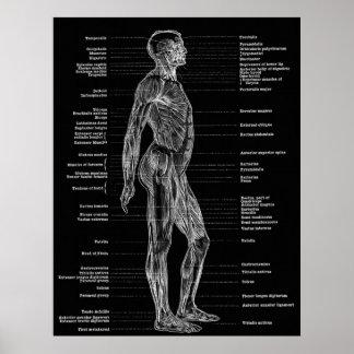 Vintage - la anatomía humana Muscles negro lateral Poster