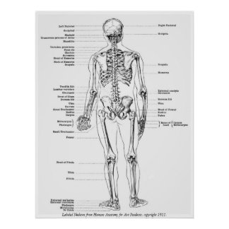 Vintage - Labeled Skeleton Back View Male Poster