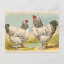 "Vintage ""Light Brahama Chickens"" Postcard"