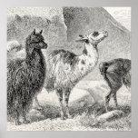 Vintage Llama Alpaca Template Llamas Alpacas Poster