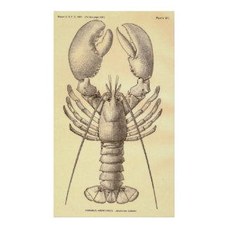 Vintage Lobster Diagram (1897) Poster