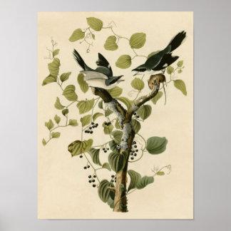 Vintage Loggerhead Shrike Poster Print