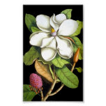 Vintage Magnolia Botanical Poster at Zazzle