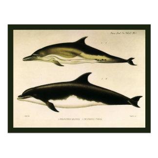 Vintage Marine Animals, Mammals, Dolphins Postcard