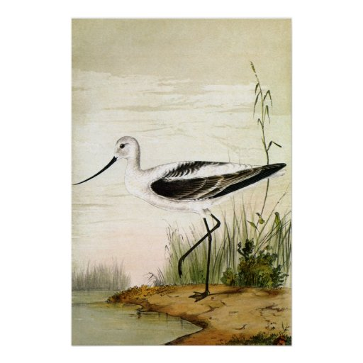 Vintage Marine Life Bird, Avocet, Shorebirds Poster