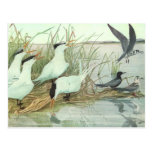 Vintage Marine Life Birds, Shorebirds in a Marsh Postcard