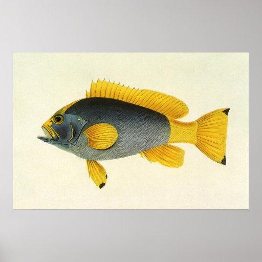 Vintage Marine Life Fish, Blue and Yellow Grouper Print