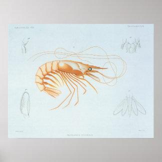 Vintage Marine Life Ocean Animal; Shrimp Anatomy Posters