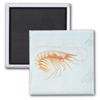 Vintage Marine Life Ocean Animals, Shrimp Anatomy Magnet