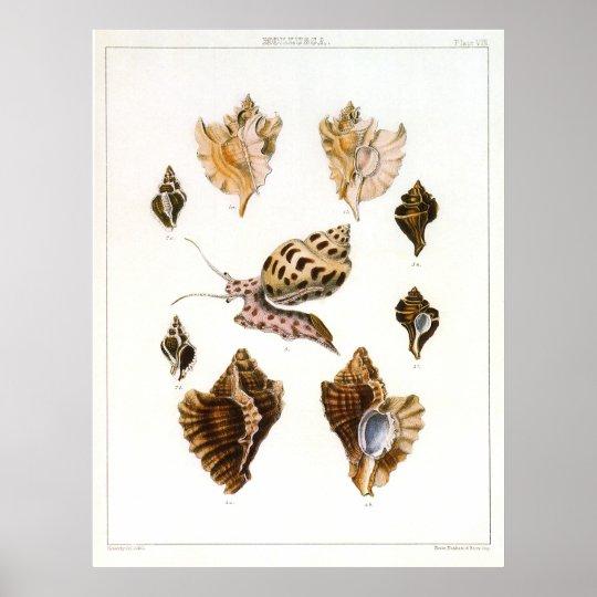 Vintage Marine Life Organisms, Snails and Mollusks Poster