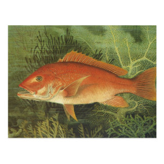 Vintage Marine Life, Red Snapper Fish in the Ocean Postcard