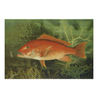 Vintage Marine Life, Red Snapper Fish in the Ocean Poster